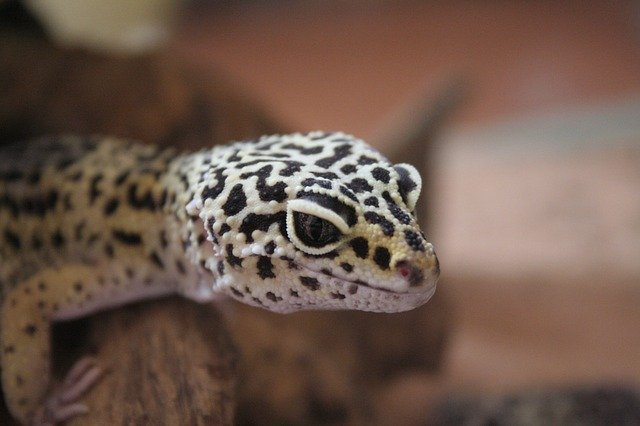 A photo of a leopard gecko in its tank
