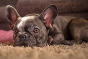 A photo of a french bulldog sleeping on a rug