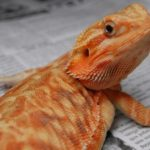 A photo of my leatherback bearded dragon