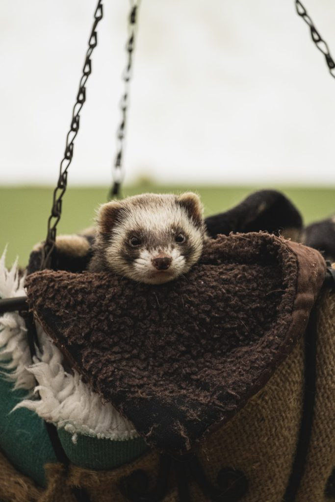A photo of a ferret resting in a basket