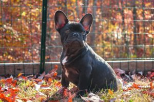 A photo of a french bulldog barking