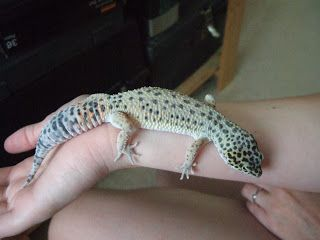 a photo of a leopard gecko that has turned pale and white