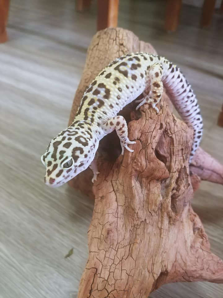 a photo of a leopard gecko climbing a branch