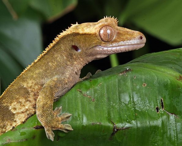 a close up photo of a crested gecko on a plant