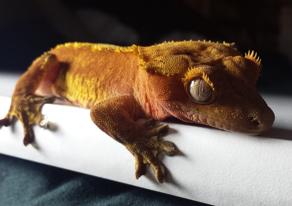 a photo of a relaxed crested gecko on a shelf