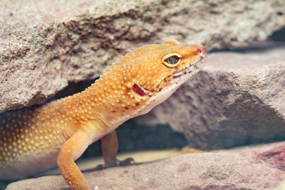 a photo of a leopard gecko with one eye closed