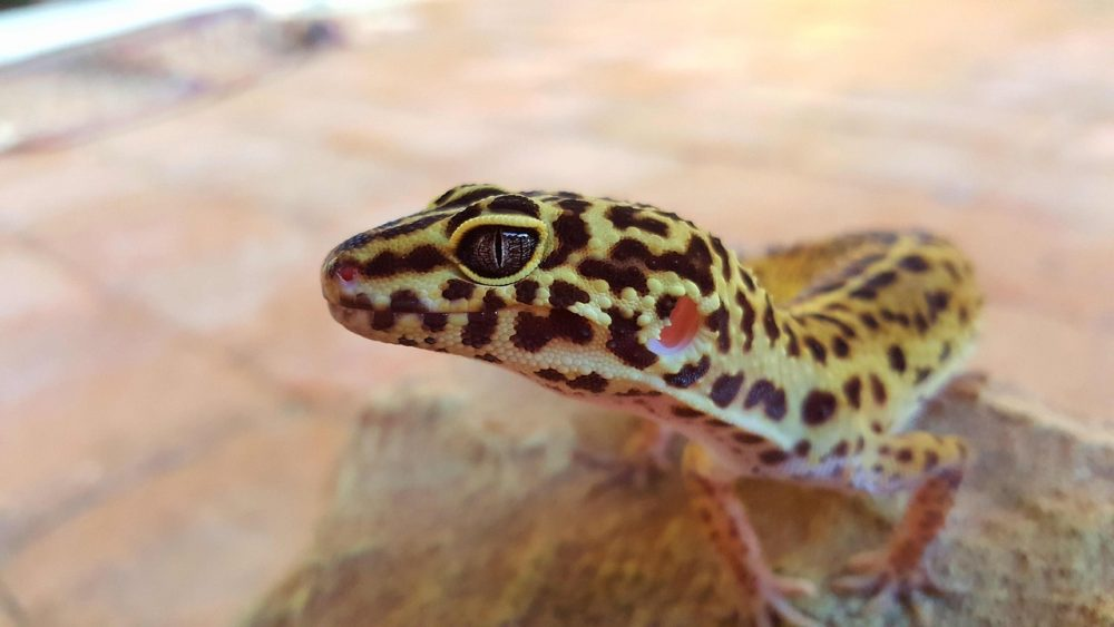 a photo of a leopard gecko resting on a rock.