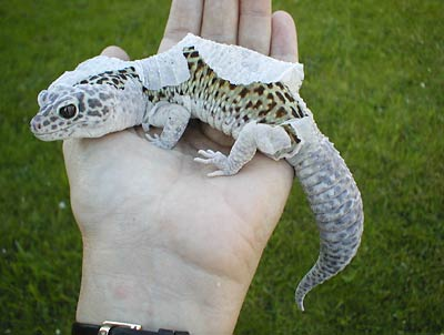 a photo of a leopard gecko that is shedding its skin
