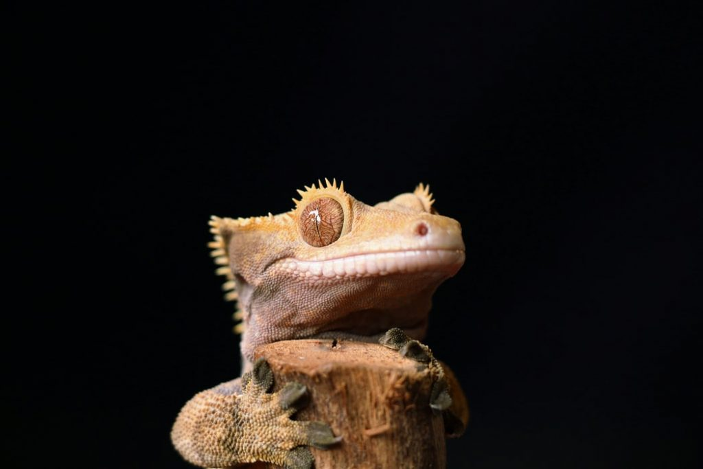 a photo of a trusting crested gecko