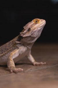 a photo of a bearded dragon staring at the camera.