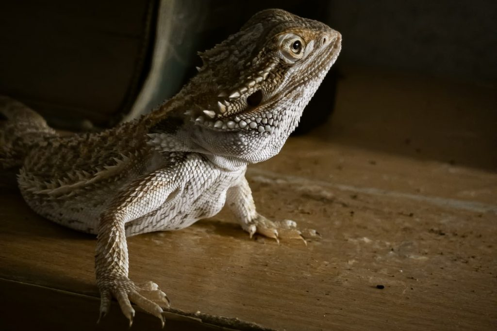 a photo of a bearded dragon looking happy and alert.
