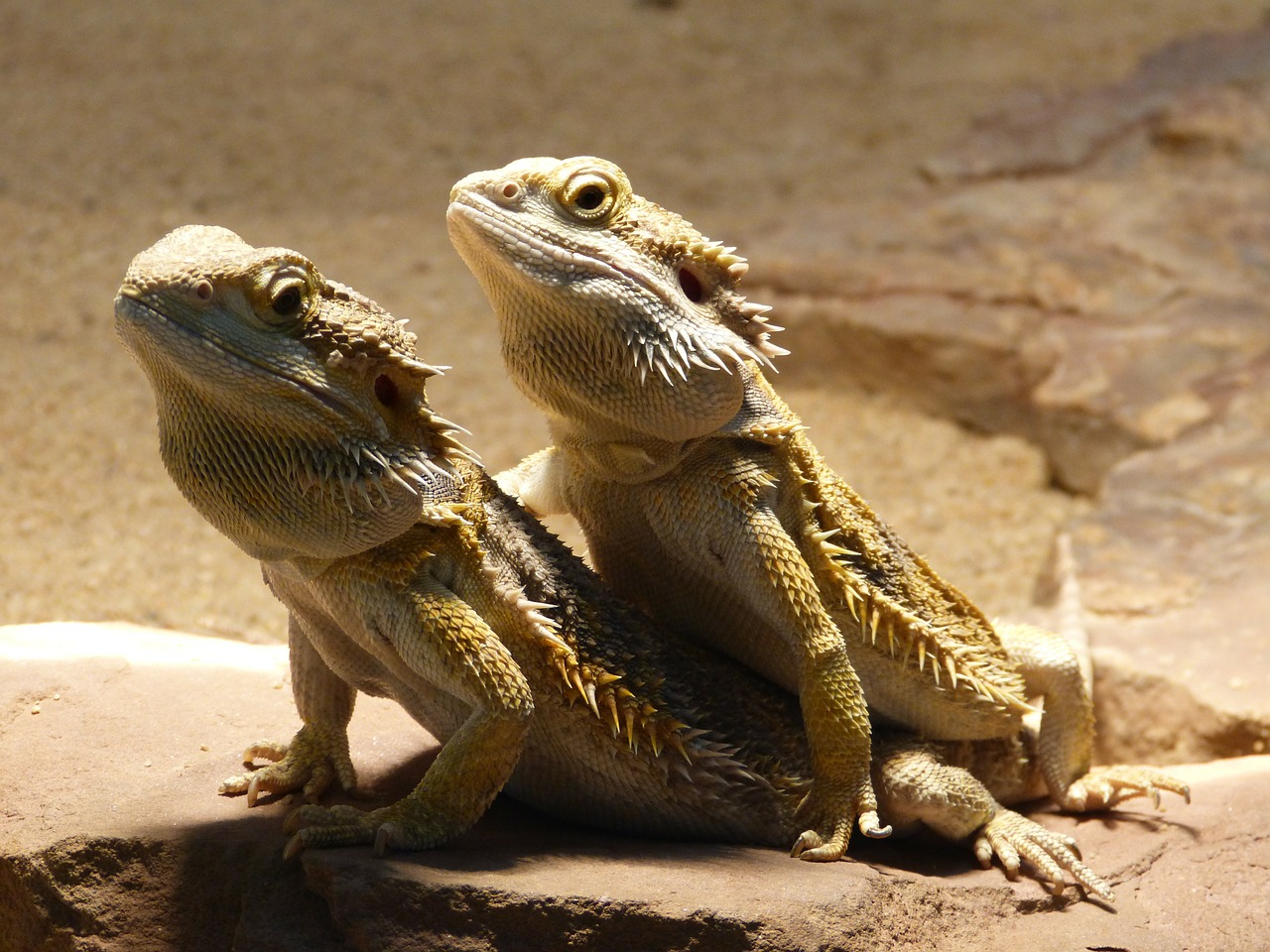 a photo of two bearded dragons being social.