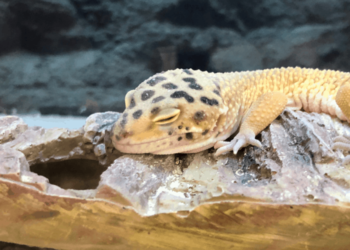 a photo of a gecko digging in its tank