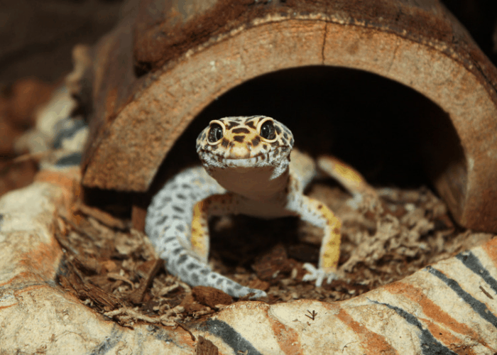 a photo of a leopard gecko coming out of its hide