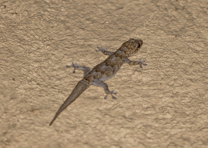 a photo of a common house Gecko or Brown lizard