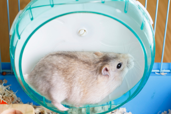 A hamster in a solid plastic wheel