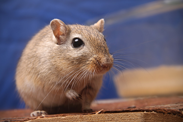 A photo of a Gerbil with teeth showing