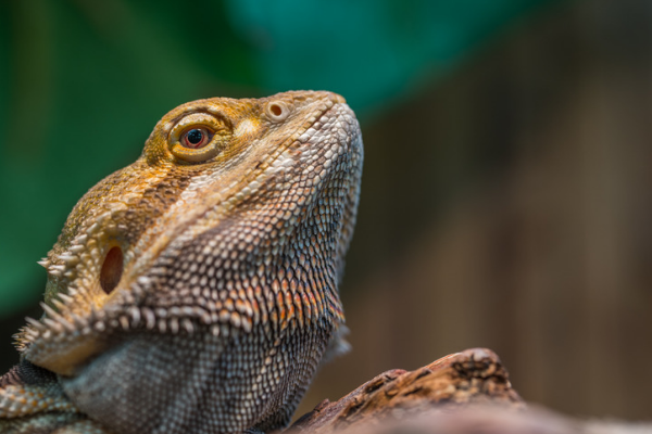 A photo of a bearded dragon staring