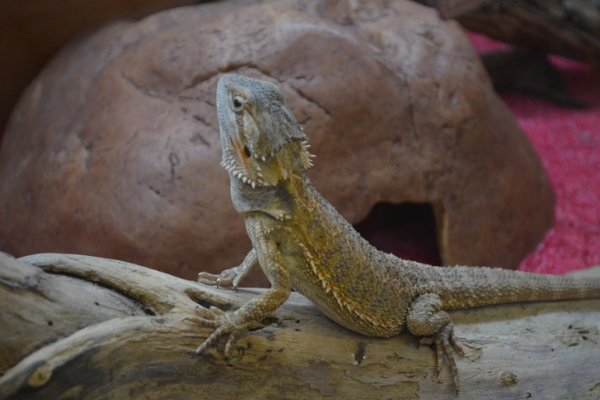 A photo of a bearded dragon looking aggressive