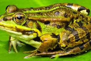 A photo of a green tree frog