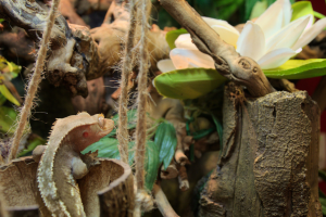 My crested gecko hiding in its vertical terrarium that I bought it