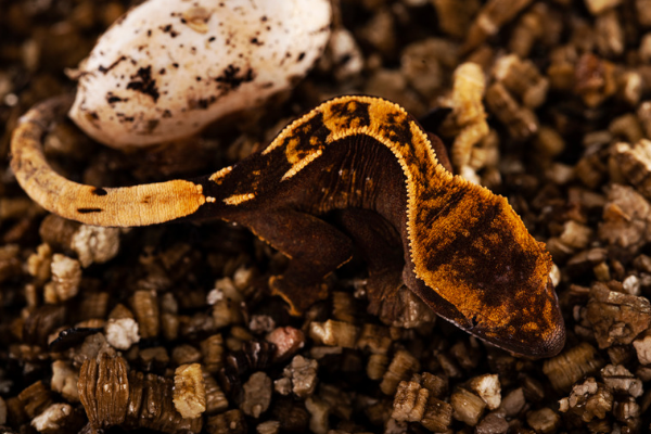 A baby crested gecko hatching from an egg